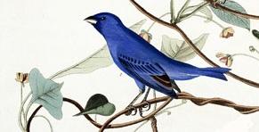 Indigo Bunting - Audubon