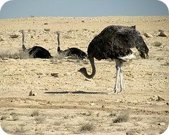 Ostriches don't actually put their head in the sand